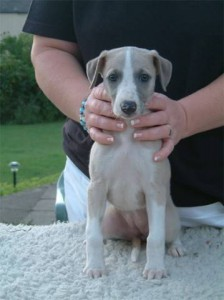 Billie, 6 weeks of age, showed by her breeder mrs. Susan Mycroft