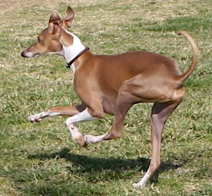 A racing Whippet